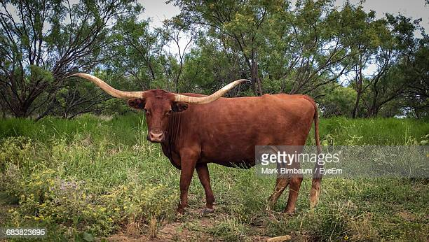 portrait of texas longhorn cattle standing on grassy field against trees - texas longhorn cattle stock photos and pictures