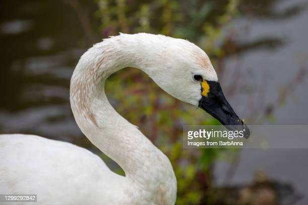 portrait of the beautiful tundra swan also known as the whistling swan - animal eye stock pictures, royalty-free photos & images