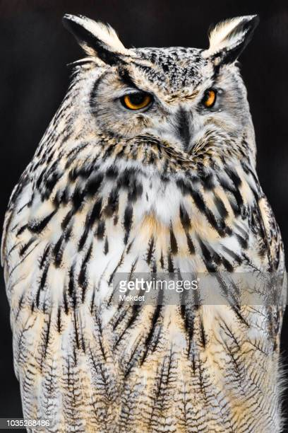 portrait of the eurasian eagle owl in hokkaido, japan - eurasian eagle owl stock pictures, royalty-free photos & images