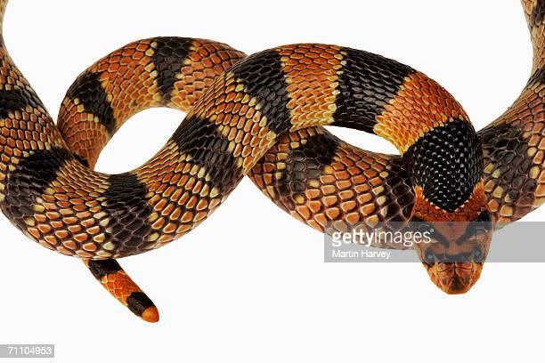 portrait of the head and tail of a cape coral snake (aspidelaps lubricus lubricus) - coral snake stock pictures, royalty-free photos & images
