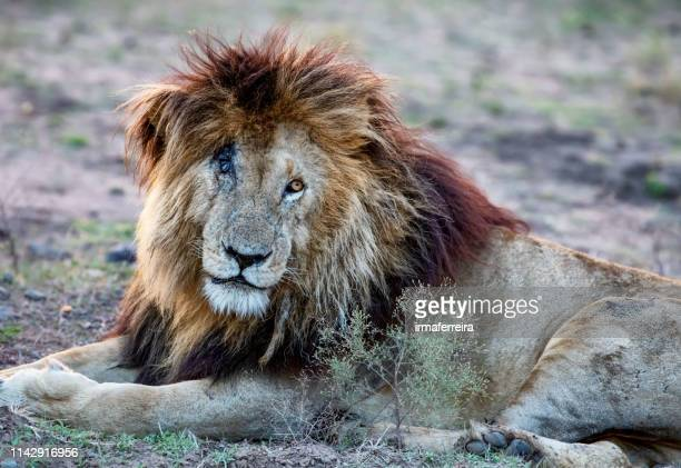 Portrait of the legendary lion called Scarface, Masai Mara, Kenya