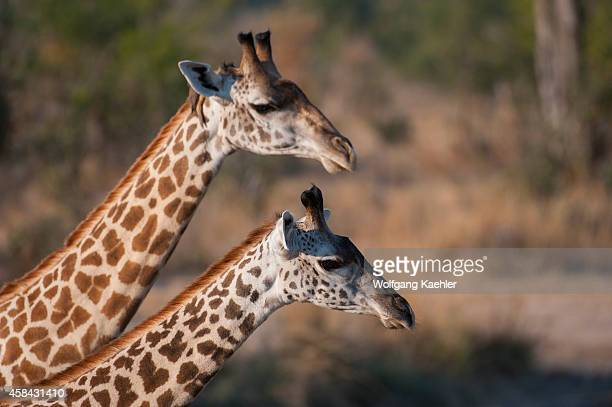 Portrait of Thornicroft's Giraffes in South Luangwa National Park in eastern Zambia