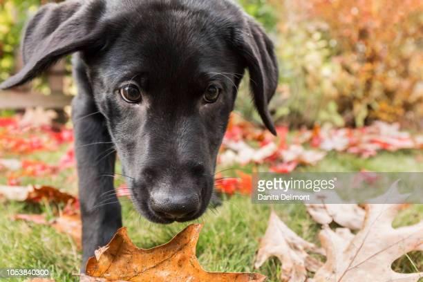 portrait of three month old black labrador retriever puppy on autumn day, bellevue, washington state, usa - bellevue washington state stock photos and pictures