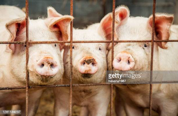 portrait of three pigs - hygiene stock pictures, royalty-free photos & images