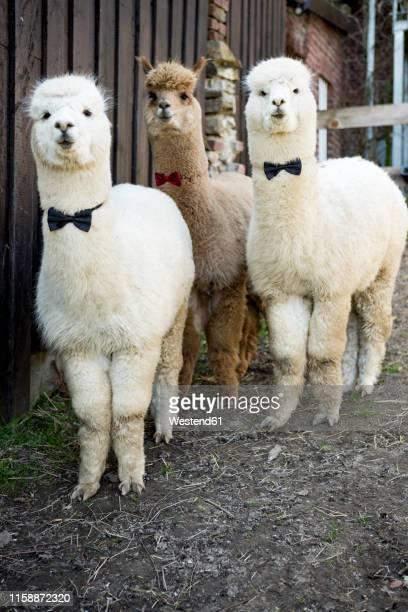 portrait of three tame alpacas wearing bow ties - llama animal fotografías e imágenes de stock