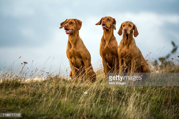 portrait of three vizla dogs sitting on a meadow. - pointer dog stock pictures, royalty-free photos & images