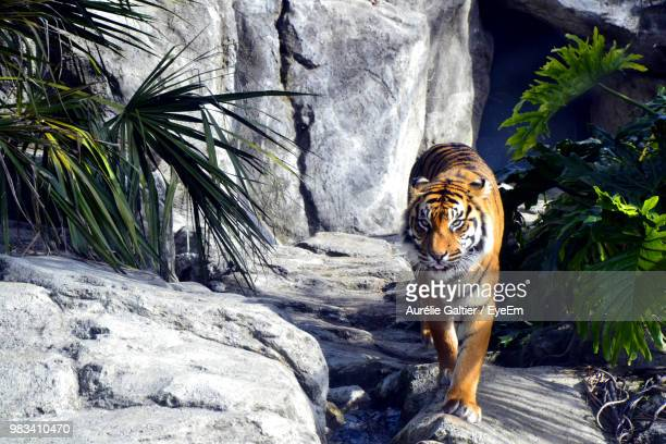 portrait of tiger at zoo - zoo stock pictures, royalty-free photos & images