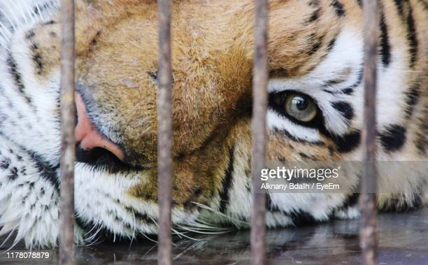 portrait of tiger in cage - zoo stock pictures, royalty-free photos & images