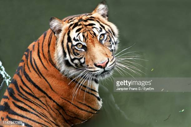 portrait of tiger in zoo - tiger stock pictures, royalty-free photos & images