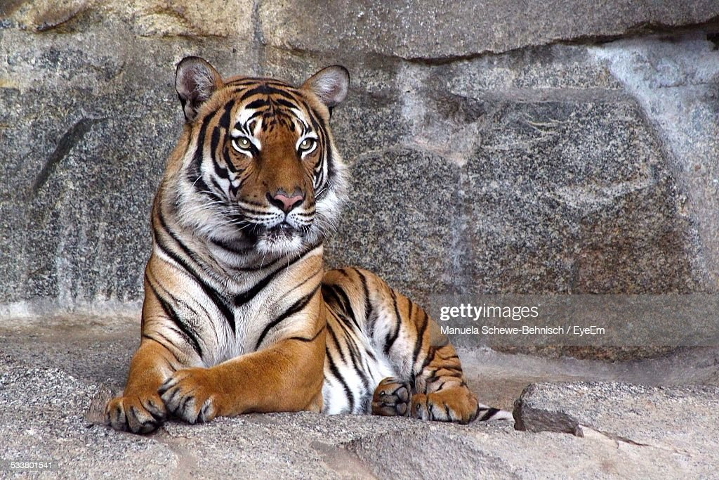 Portrait Of Tiger In Zoo : Foto stock
