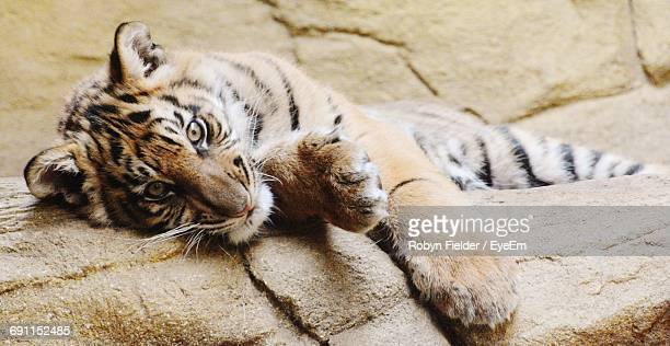 portrait of tiger lying down - tiger cub stock photos and pictures
