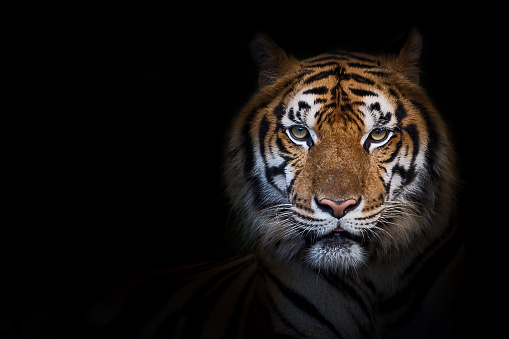 Portrait of tiger. 1153806803