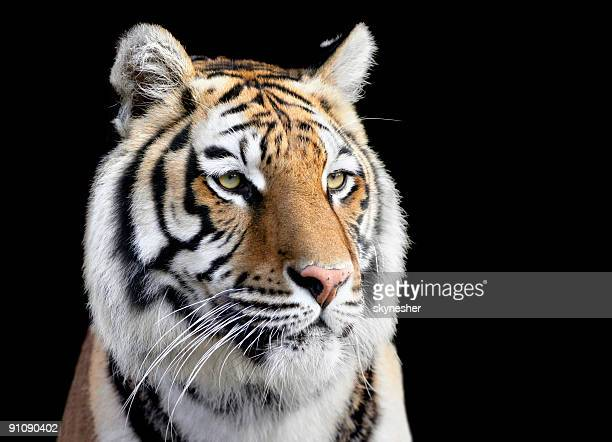 portrait of tiger - siberian tiger stock pictures, royalty-free photos & images