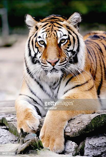 portrait of tiger - bengal tiger stock pictures, royalty-free photos & images