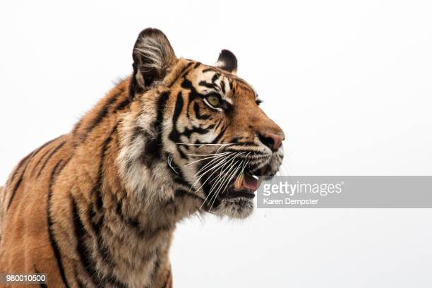 portrait of tiger (panthera tigris) - tiger stock pictures, royalty-free photos & images