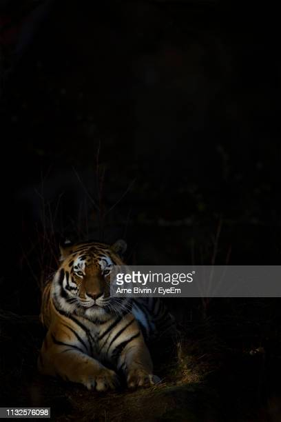 portrait of tiger sitting against black background - dark panthera stock pictures, royalty-free photos & images