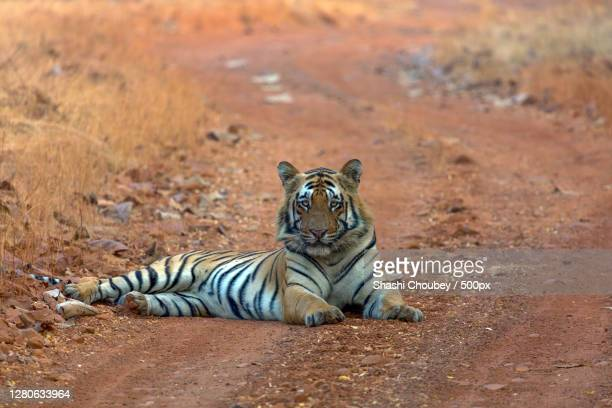 portrait of tiger sitting on field, nagpur, maharashtra, india - india summer stock pictures, royalty-free photos & images