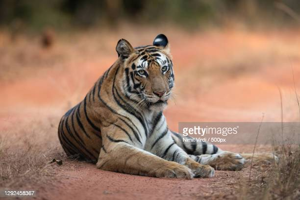 portrait of tiger sitting on field,bandhavgarh tiger reserve,india - animal head stock pictures, royalty-free photos & images
