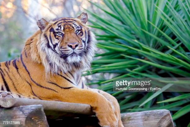 Portrait Of Tiger Sitting Outdoors