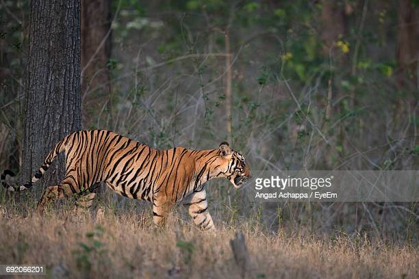 Portrait Of Tiger Standing On Field