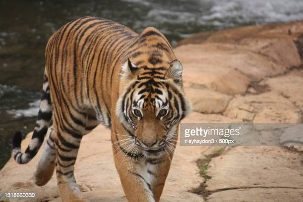 portrait of tiger standing on footpath,canberra,australian capital territory,australia - nature stock pictures, royalty-free photos & images