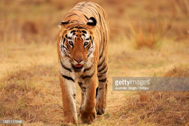 portrait of tiger walking on field - nature stock pictures, royalty-free photos & images