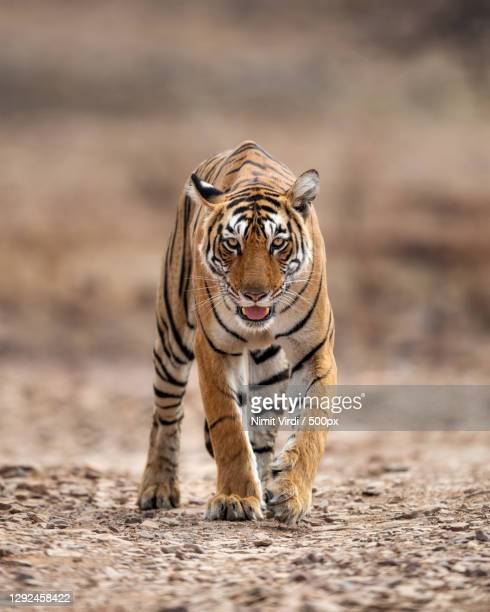 portrait of tiger walking on field,ranthambore national park,rajasthan,india - hunting stock pictures, royalty-free photos & images