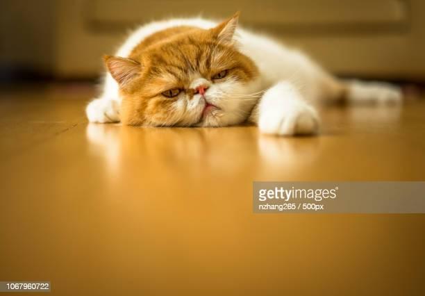 portrait of tired cat lying on wooden floor - acostado boca abajo fotografías e imágenes de stock