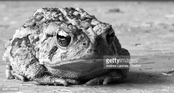 Portrait Of Toad