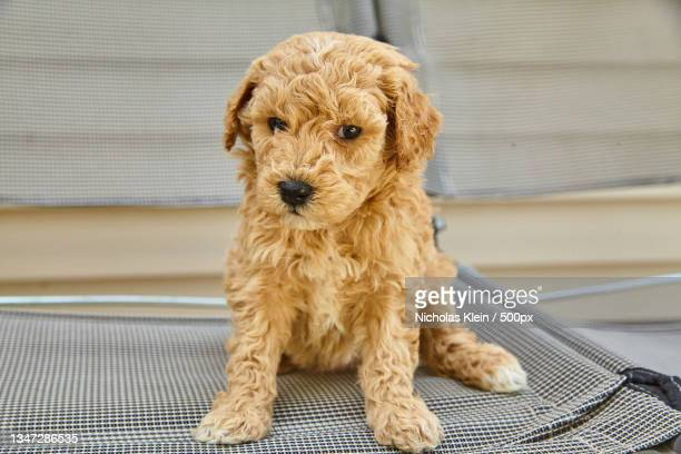 portrait of toy poodle sitting on floor - klein stock pictures, royalty-free photos & images