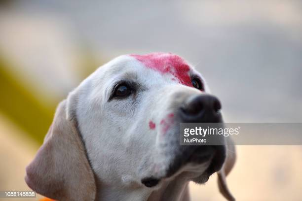 Portrait of trained Nepalese police Dog with full of color after performing puja on Kukur Tihar or Dog Festival as the procession of Tihar...