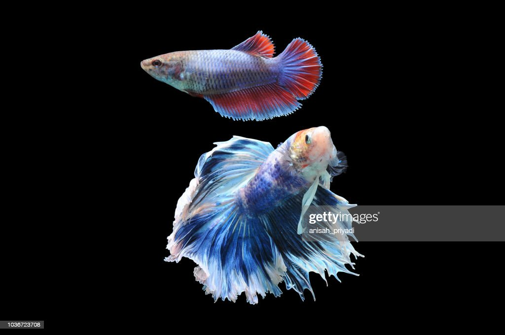 Portrait Of Two Betta Fish Indonesia Stock Photo