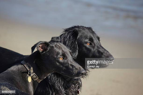 Portrait of two black dogs on the beach.