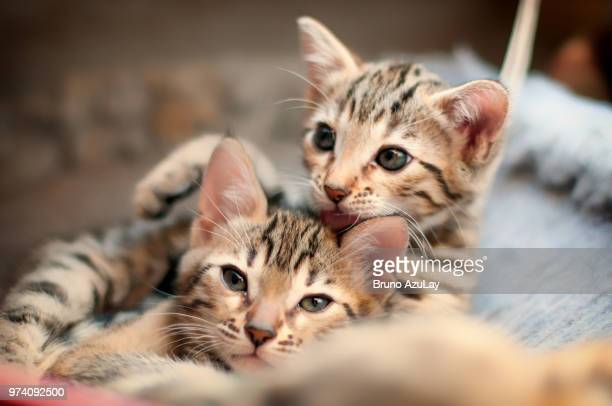 portrait of two chatons bengal - bengal cat stock pictures, royalty-free photos & images