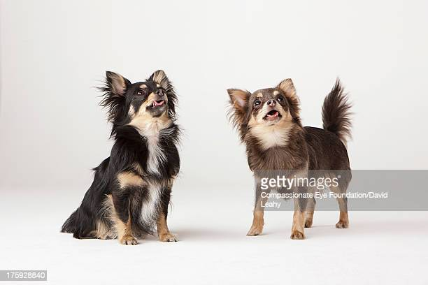 Portrait of two Chihuahuas