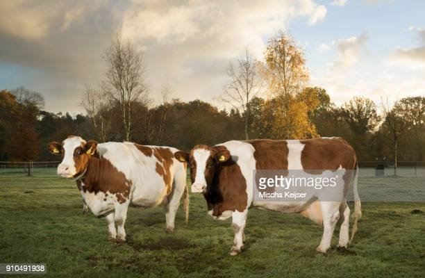 Portrait of two domestic cows in field