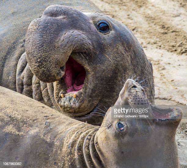 Portrait of two elephant seals lying together on beach