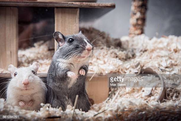 portrait of two gerbils looking out of cage - gerbil - fotografias e filmes do acervo