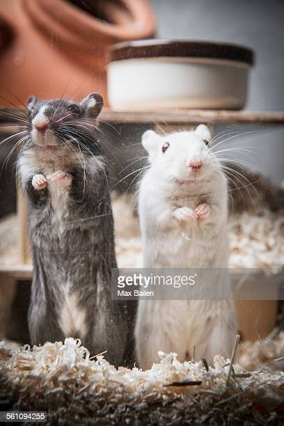 portrait of two gerbils standing on back legs - gerbil stock pictures, royalty-free photos & images