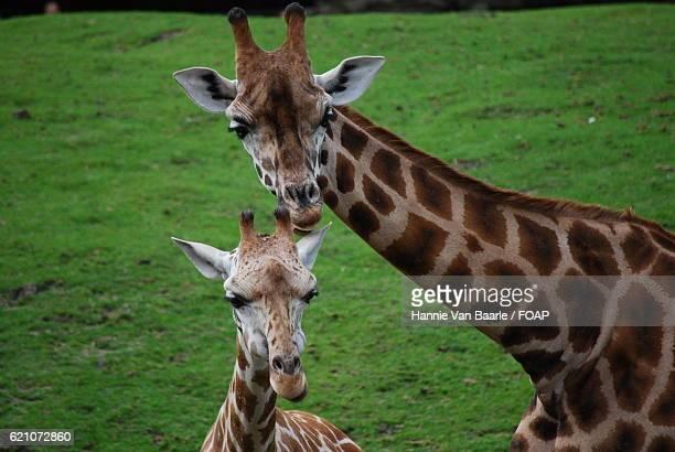 Portrait of two giraffe
