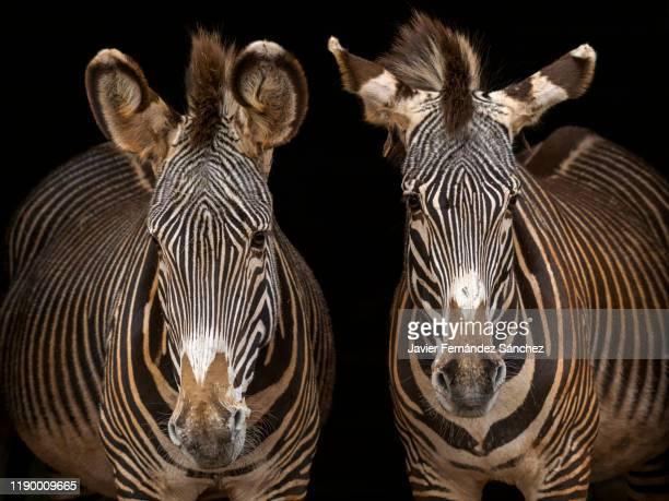 a portrait of two grevy's zebra on a dark background, which contrasts its black and white stripes. equus grevyi. - white stripes stock pictures, royalty-free photos & images