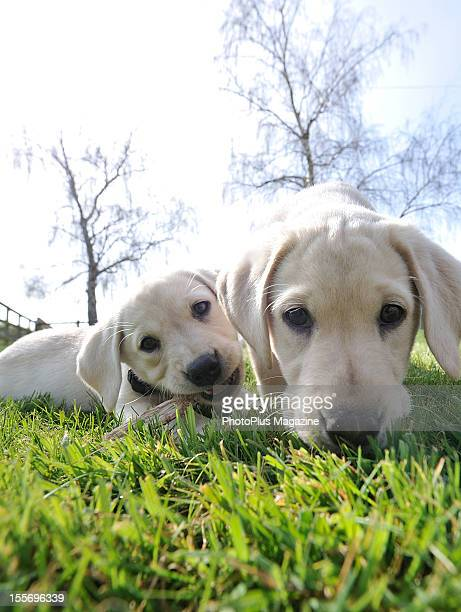 Portrait of two Labrador Retriever puppies frolicking on a sunny Spring day, taken on March 29, 2012.