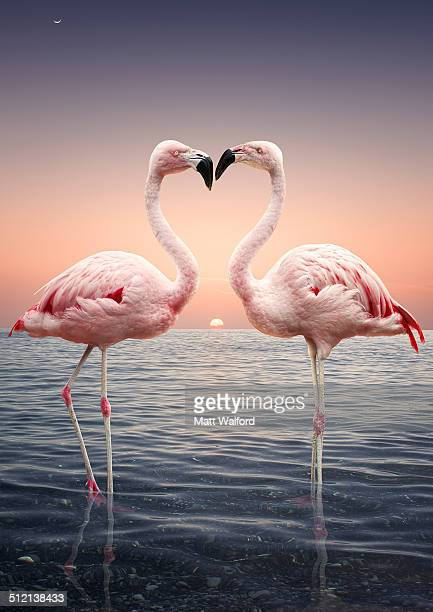 Portrait of two pink flamingoes standing face to face in sea at sunset