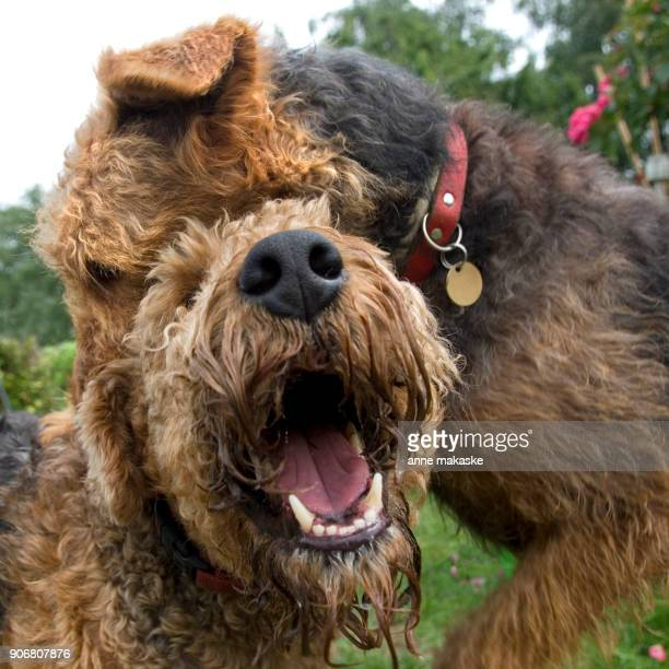 Portrait of two playing Airedale Terriers