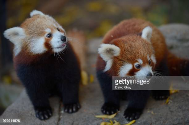 portrait of two red pandas cub, canberra, australia - red panda stock pictures, royalty-free photos & images