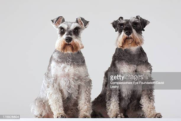 portrait of two schnauzers - schnauzer stock pictures, royalty-free photos & images