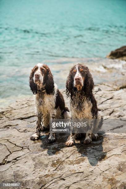portrait of two wet english springer spaniels - springer spaniel stock photos and pictures