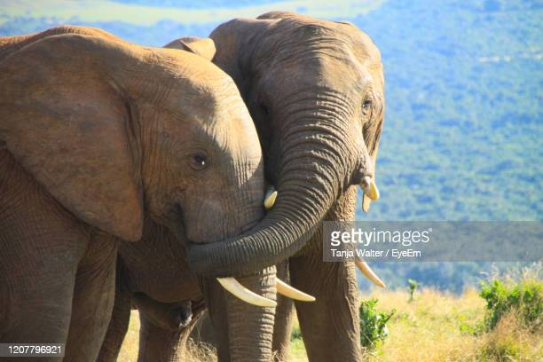 portrait of two young and playful african elefants - tusk stock pictures, royalty-free photos & images