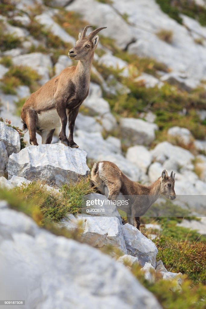 Portrait of two young ibexes : Stock Photo