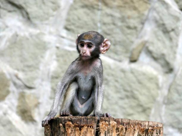 Portrait of vervet monkey sitting on rock